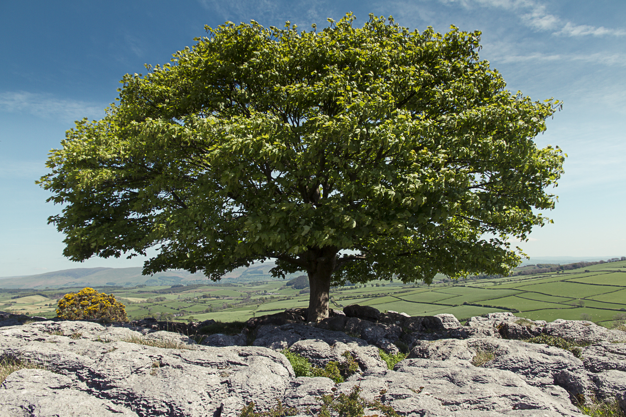 Tree Series - Sycamore Tree on Limestone in Summertime - Photo