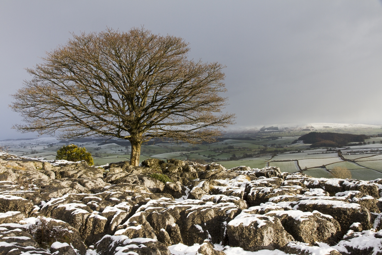 Tree Series - Sycamore, Winter - Photograph